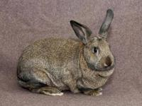American - Monica - Large - Baby - Female - Rabbit