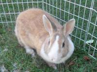 American - Pancake - Small - Young - Female - Rabbit