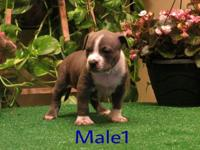 These are Beautiful American Pit bull (Bully) puppies