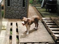 7 Months American Pit Bull Bully Female Puppy ...