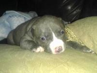 Adorable pit bull puppies for sale .available first