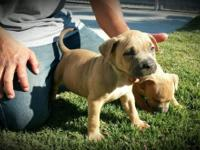 UKC and ABKC register American pit bull puppies,