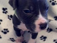 5 week old Blue American Pit Bull Puppies 1 male/3