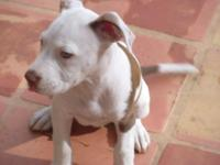 BEAUTIFUL!! PIT BULL PUPPY!! JUST 1 FEMALE LEFT!!!!