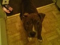 Looking for a great home for my American Pit Bull.