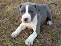 Attractive healthy Blue APBT pups with numerous white