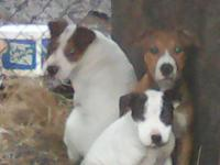 Two American Pit Bull Terrier Puppies for sale 3 months