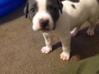 6 blue Nose Pit Bull Terrier 2 girls 4 boys 7 weeks old