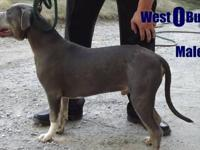 "This is West O Bullies ""Baloo"" He is ukc registered"