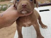 Male and female American pit bull terrier $250 firm