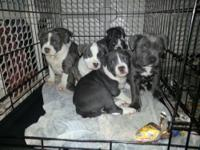 We have beautiful Blue Pit Bull puppies that need