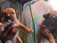 I have 6 American pit bull terrier dogs for sale. The
