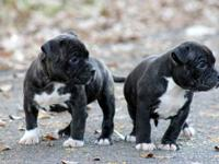 We have 7 beautiful puppies available from CH Delilah &