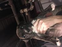 I have one chocolate tiger brindle male one red tiger