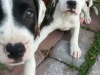 I have two American male pitbulls pups looking for a