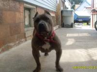 American Pitbull, full blooded Blue,12 months old,
