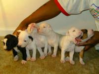 Description 8 week old American Pitbull Puppies. Will