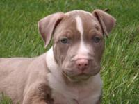I HAVE 3 CKC REG. FEMALE PITBULL PUPPIES.THEY HAVE HAD