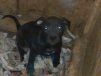 APBR registered pitbull puppies born October 31,2013