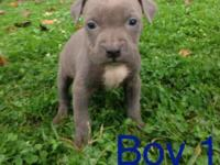 UKC signed up Blue PITBULL young puppies. Born 9-14-14.
