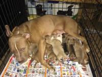 Pitbull Puppies bluenose/rednose for sale 3 males 4