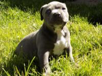 I have 2 male pitbull puppies left they are ukc
