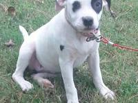 I have a female american pitbull terrier puppy that I'm