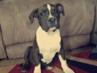 UKC American Pitbull Terrier.shots included.please text