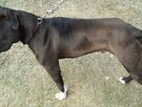American Pitbull Terrier 4 month female, not spayed,