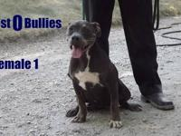 "This is West O Bullies ""Cocoa"" she is ukc registered,"