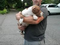 I have a 6 month old red nose pitbull for sale. He's a