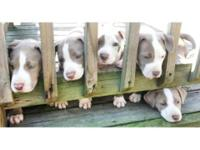 2 guy and 2 women Americal Pitbull Terrier puppies