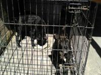 American pitbull terrier females only! Call for more