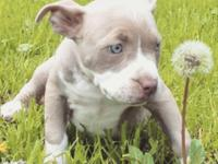 I have some American Pitbull young puppies offered to