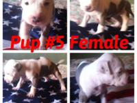 3 gorgeous pocket puppies left! that will not grow to