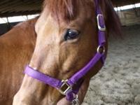 Registered American Quarter Horse For Sale. Mare, 7
