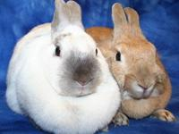 American - Rose - Medium - Adult - Female - Rabbit I