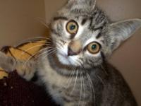 American Shorthair - 34631 - Medium - Adult - Female -