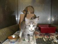 American Shorthair - 4 Kittens - Medium - Young -