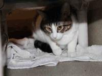 American Shorthair - A025883 - Small - Adult - Female -