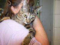 American Shorthair - Adele - Medium - Adult - Female -