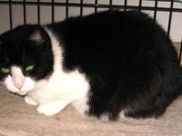 American Shorthair - Albert - Large - Young - Male -