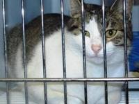 American Shorthair - Allie (#5555) - Small - Adult -