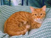 American Shorthair - Angus - Small - Adult - Male -