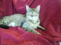American Shorthair - Aries - Medium - Adult - Female -