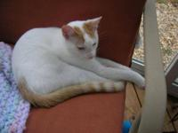 American Shorthair - Ashburn - Medium - Baby - Male -
