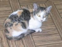 American Shorthair - Ashley - Medium - Adult - Female -