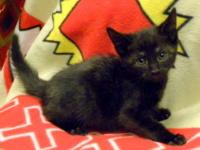 American Shorthair - Baby Brie - Small - Baby - Female