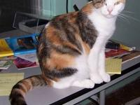 American Shorthair - Baby - Medium - Young - Female -