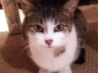 American Shorthair - Basil - Small - Young - Male -